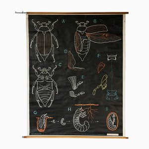 French Wall Chart by Dr. Auzoux for Gaillac-Monrocq Paris