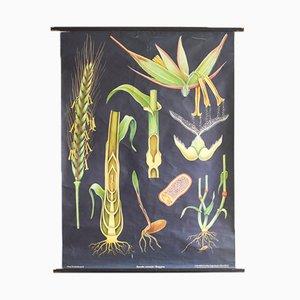 Poster scolastico raffigurante segale di Jung, Koch & Quentell per Hagemann