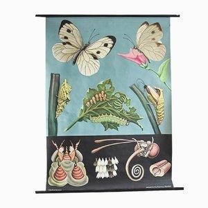 Vintage Schmetterling Lehrtafel von Jung, Koch & Quentell für Hagemann