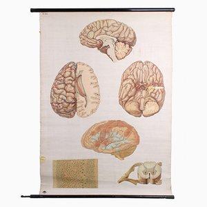 Deutsche Vintage Gehirn Lehrtafel