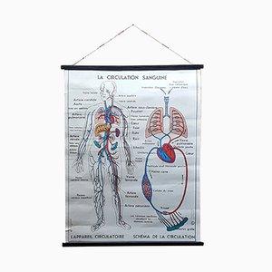 Póster de la circulación sanguínea, años 60
