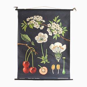 Stampa botanica raffigurante il ciliegio di Jung, Koch & Quentell per Hagemann, anni '60