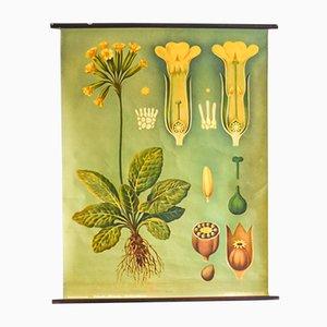 Botanischer Druck der Primel von Jung, Koch & Quentell für Hagemann, 1960er