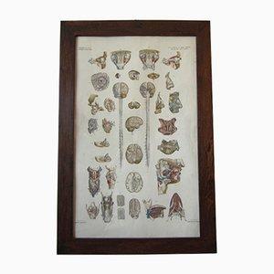 Poster anatomico antico