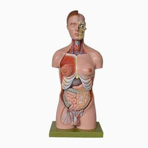 Sculpture d'Anatomie de Somso, 1960s