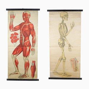 Antike Anatomie Lehrtafel von Foedisch Krantz für C. C. Meinhold & Söhne, 2er Set