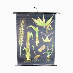 Affiche Scolaire de Seigle Botanique Vintage par Jung, Koch & Quentell pour Hagemann