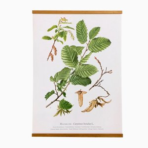 German Double-Sided German Botanical School Chart 'Hainbuche' by Erich Cramer for Kronen-Verlag, 1984