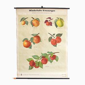Mid-Century Apple Chart from Volk und Wissen Verlag (VWV), 1960s