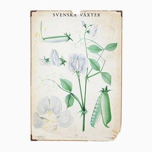 Antikes schwedisches Botanik-Poster