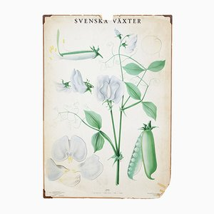 Póstre botánico sueco antiguo