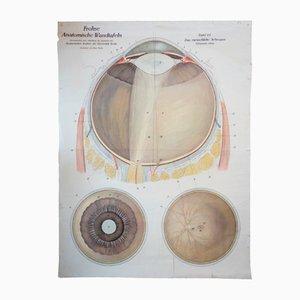 Menschliches Auge Anatomie-Lehrtafel von Franz Frohse, 1910er