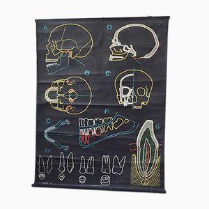 Vintage Skull Poster von Dr Auzoux