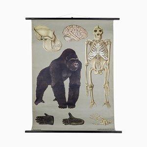 Poster scolastico raffigurante il gorilla di Jung-Koch-Quentell per Hagemann, 1961