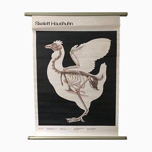 Vintage East German Educational Chart of A Chicken Skeleton by Volk Und Wissen