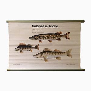 Ostdeutsche Vintage Lehrtafel zum Thema Süßwasserfische von Volk und Wissen, 1960er