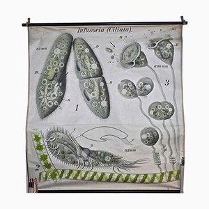 Stampa zoologica di ciliati di Paul Furtscheller per Martinus Nijhoff
