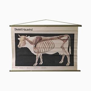 Vintage East German Poster of a Cow Skeleton from Volk Und Wissen