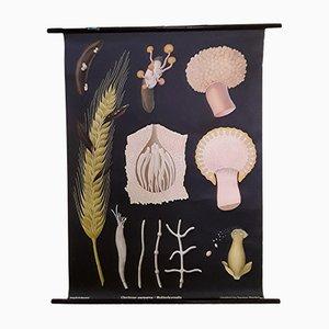 Affiche Scolaire de Champignons Ergot Mid-Century de Wilhelm Hagemann