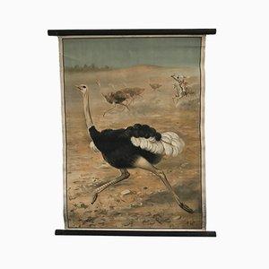 Póster escolar con avestruz, años 30