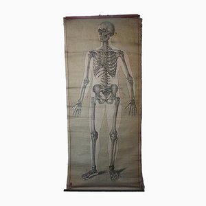 Lehrtafel über das menschliche Skelett vom Deutschen Hygiene Museum, 1940er