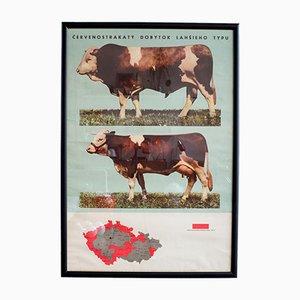 Stampa educativa vintage di bovini con cornice, 1966