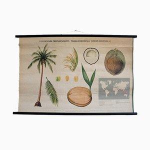 Affiche Éducative sur les Palmiers à Cacao Vintage, 1972