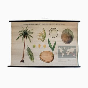 Vintage Cocoa Palm Educational Poster, 1972