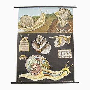 Póster vintage sobre la biología del caracol de Jung Koch & Quentell