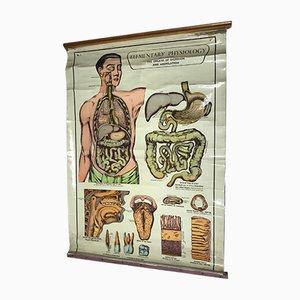 Anatomische Vintage Lehrtafel von Arnold