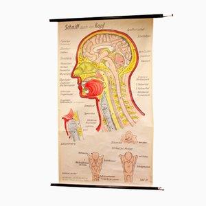 Póster sobre anatomía de la cabeza humana vintage, años 60