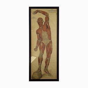 Charte Anatomique Antique par Franz Frohse, 1910s