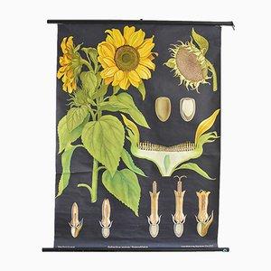 Affiche Botanique Tournesol Vintage de Hagemann