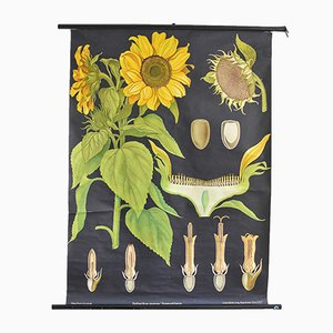 Botanische Vintage Sonnenblumen-Lehrtafel von Hagemann