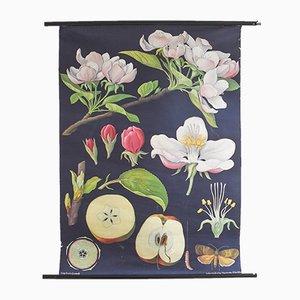 Botanische Vintage Apfel-Lehrtafel von Hagemann