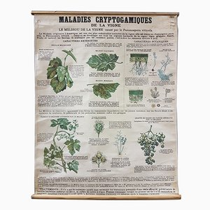 Vintage Disease of the Vines Poster on Toile