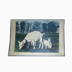 Affiche Pédagogique Chèvre Vintage, 1970s