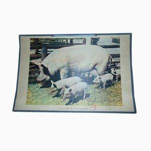 Vintage Schwein Lehrtafel, 1970er
