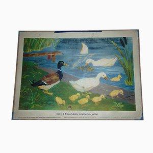 Affiche Pédagogique Vintage de Ducks, 1960s, Pologne
