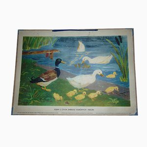 Vintage Polish School Poster of Ducks, 1960s