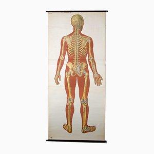 Póster anatómico del cuerpo humano vintage, años 20