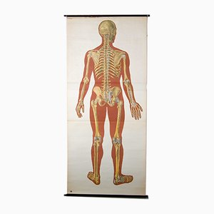 Vintage Anatomical Chart of the Human Body, 1920s