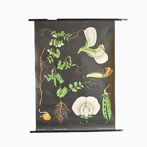 Affiche Scolaire Botanique Pois Vintage par Jung, Koch & Quentell pour Hagemann, 1963