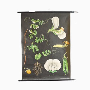 Vintage Pea Botanical School Poster by Jung, Koch & Quentell for Hagemann, 1963