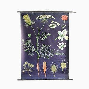 Botanische Vintage Lehrtafel über Karotten von Jung, Koch & Quentell für Hagemann