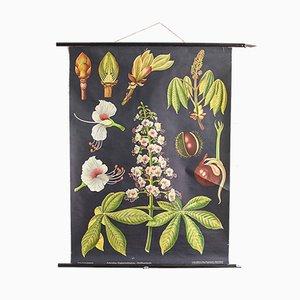 Botanische Vintage Lehrtafel über Kastanien von Koch, Jung & Quentell für Hagemann