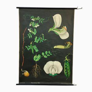 Botanisches Vintage Schaubild von Jung, Koch & Quentell für Hagemann