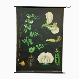 Stampa botanica vintage di Jung, Koch & Quentell per Hagemann