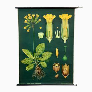 Stampa botanica vintage raffigurante una primula di Jung, Koch & Quentell per Hagemann