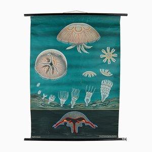 Póster escolar sobre la medusa común de Jung-Koch-Quentell, años 60